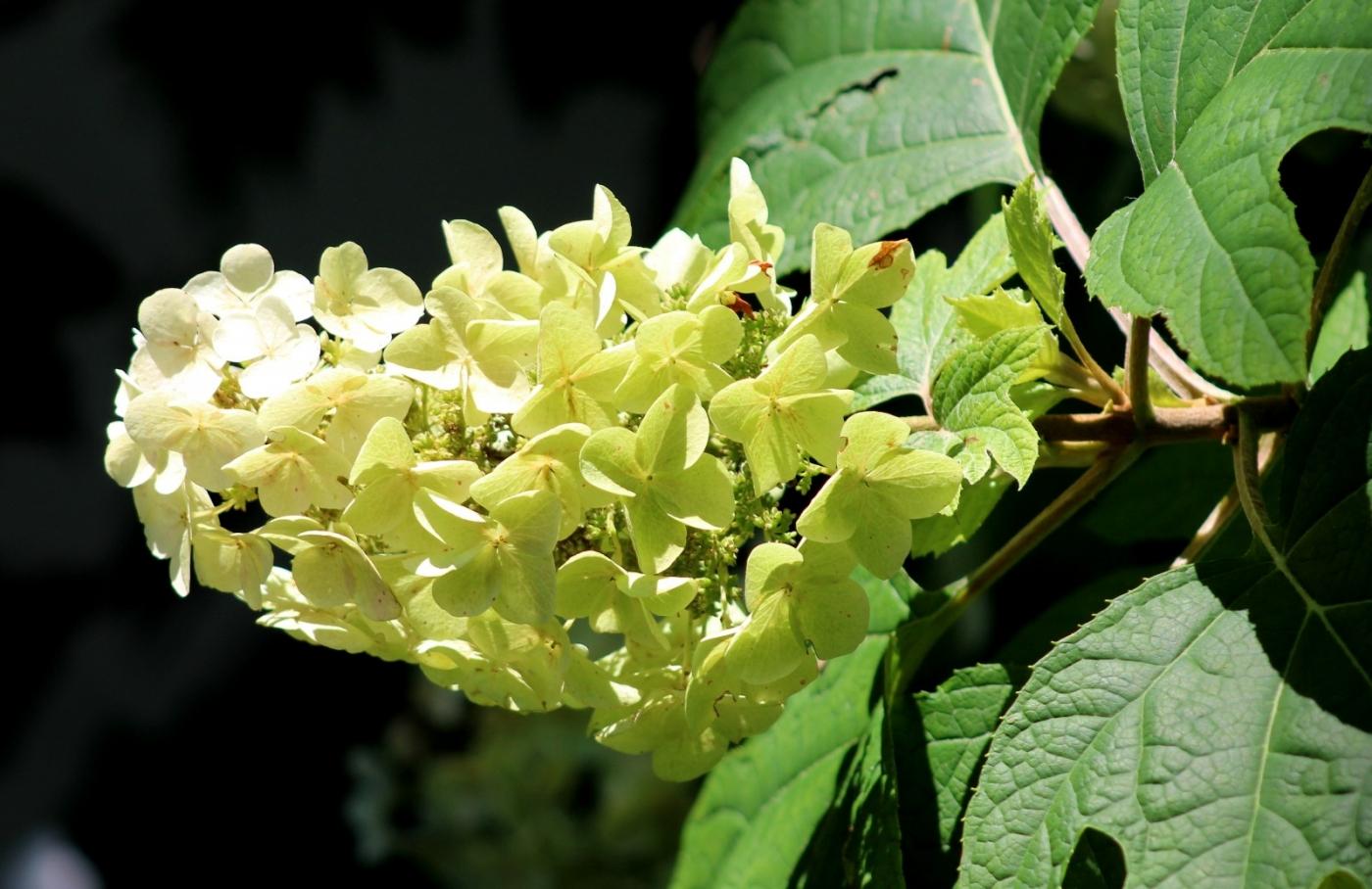 栎叶绣球花_图1-14