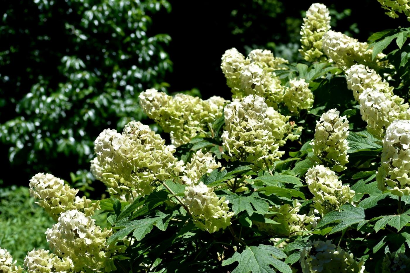 櫟葉繡球花_圖1-20