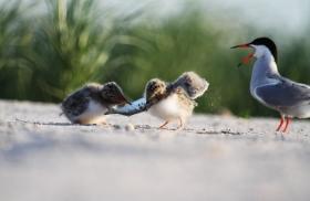 【田螺摄影】小燕鸥抢鱼精彩继续