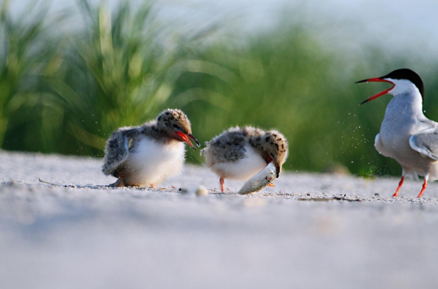 【田螺摄影】小燕鸥抢鱼精彩继续_图1-17