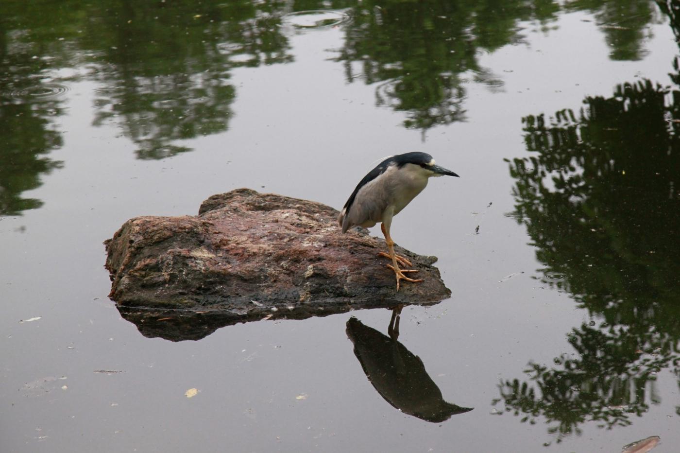 中央公园的白鹭,姿态优美,游客喜爱_图1-1