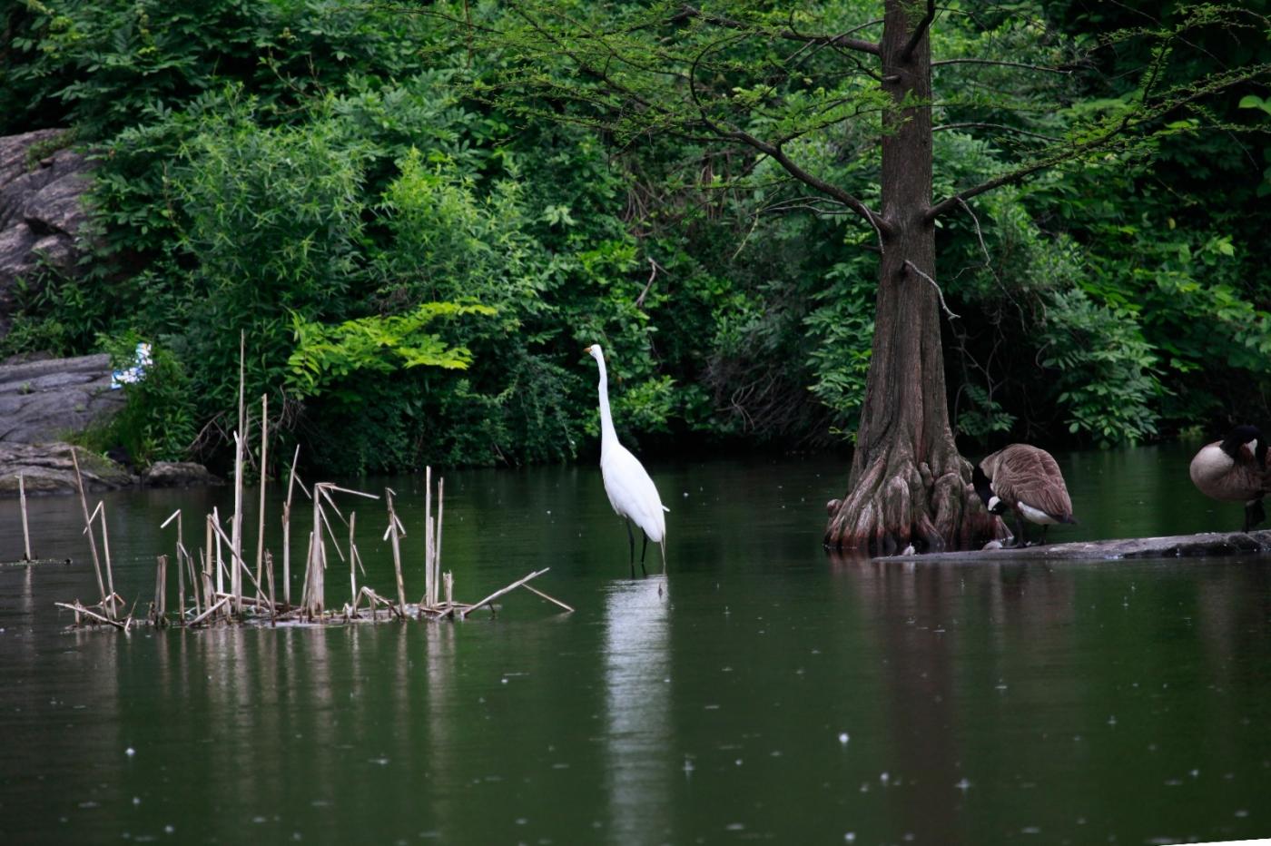 中央公园的白鹭,姿态优美,游客喜爱_图1-2