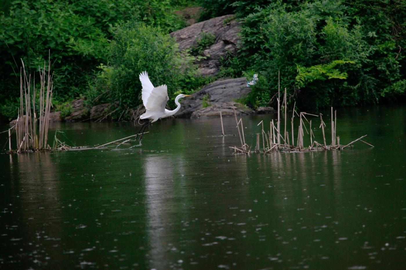 中央公园的白鹭,姿态优美,游客喜爱_图1-3