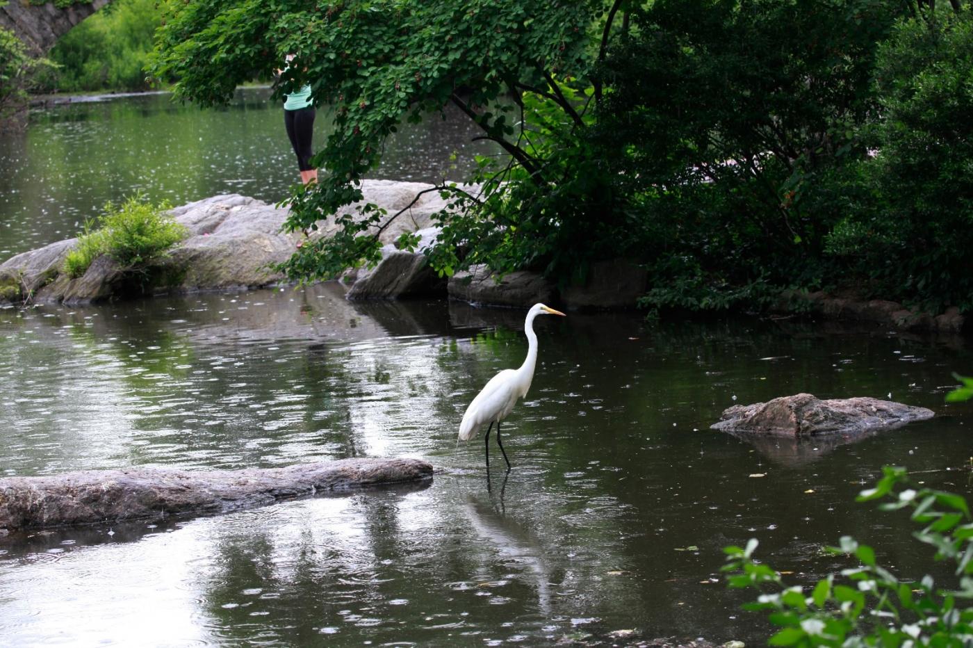 中央公园的白鹭,姿态优美,游客喜爱_图1-4
