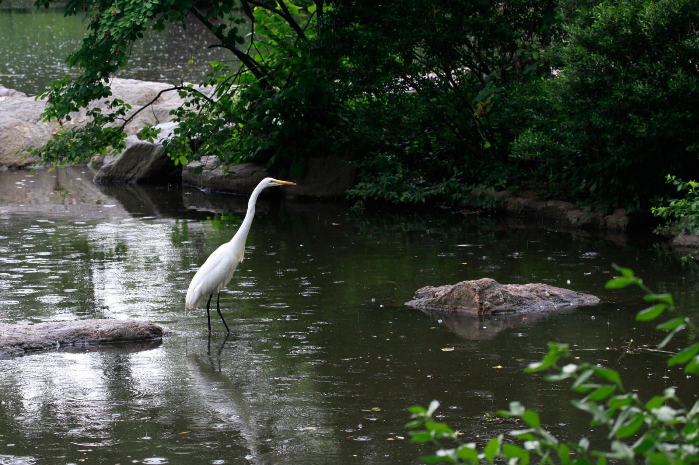 中央公园的白鹭,姿态优美,游客喜爱_图1-5