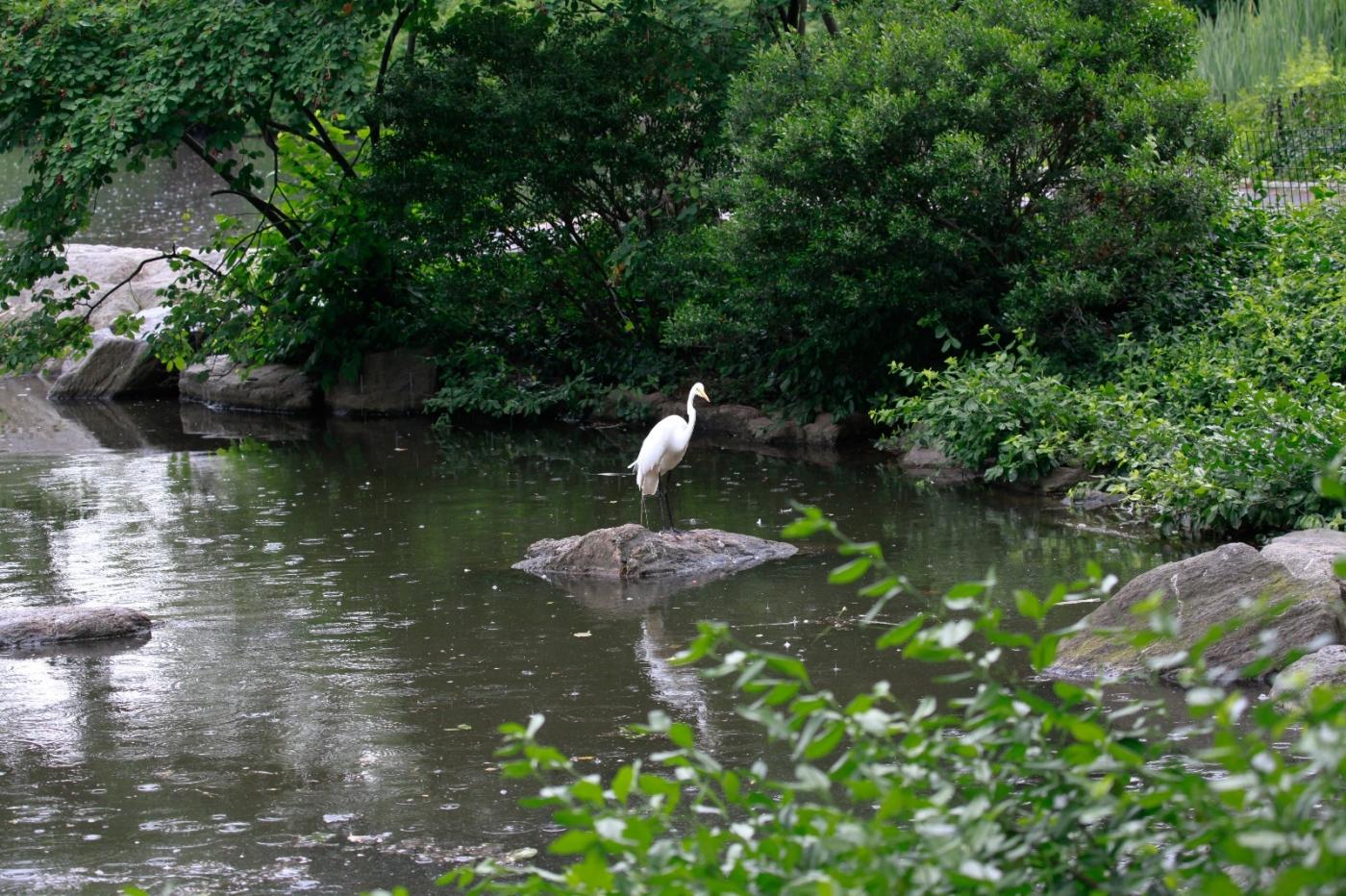 中央公园的白鹭,姿态优美,游客喜爱_图1-6