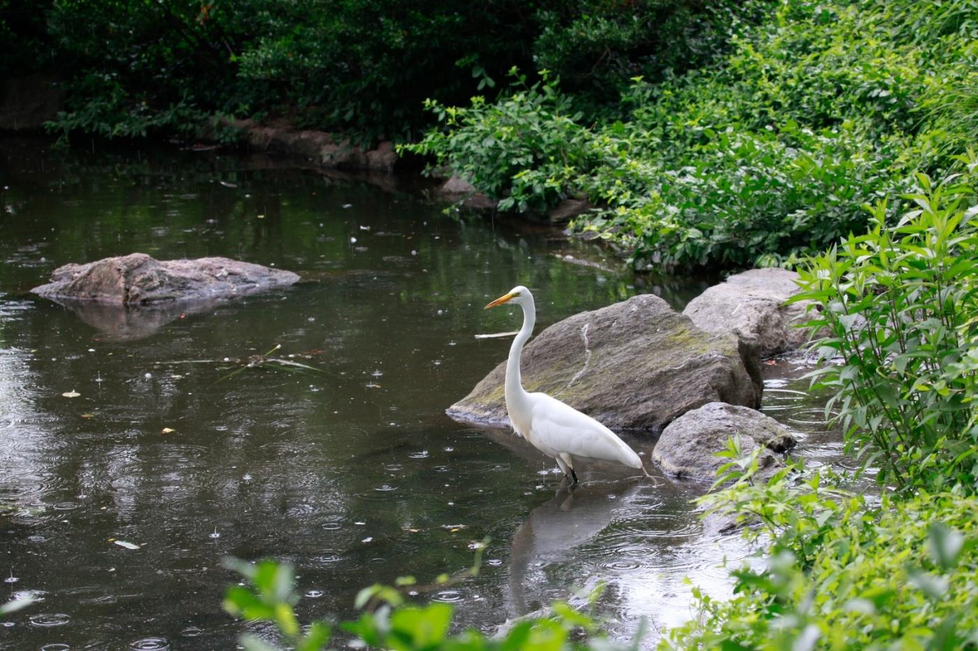 中央公园的白鹭,姿态优美,游客喜爱_图1-8