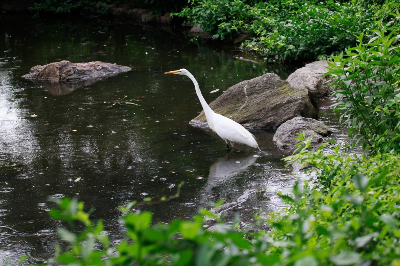 中央公园的白鹭,姿态优美,游客喜爱_图1-7