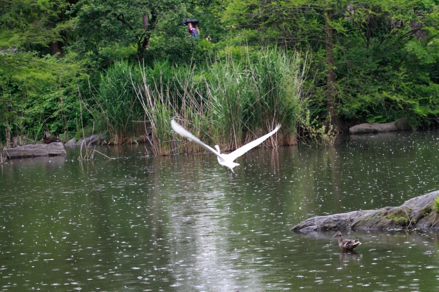 中央公园的白鹭,姿态优美,游客喜爱_图1-9