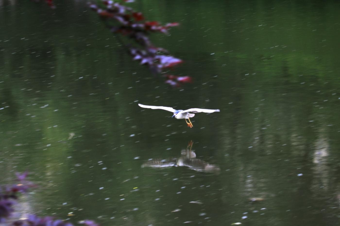 中央公园的白鹭,姿态优美,游客喜爱_图1-11