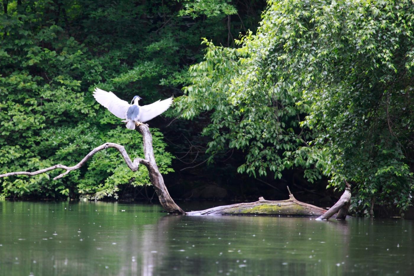 中央公园的白鹭,姿态优美,游客喜爱_图1-12