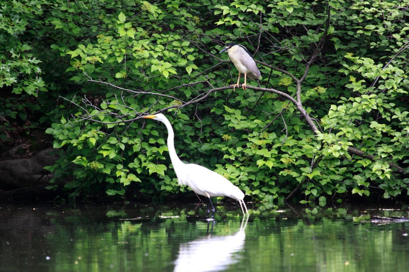 中央公园的白鹭,姿态优美,游客喜爱_图1-13