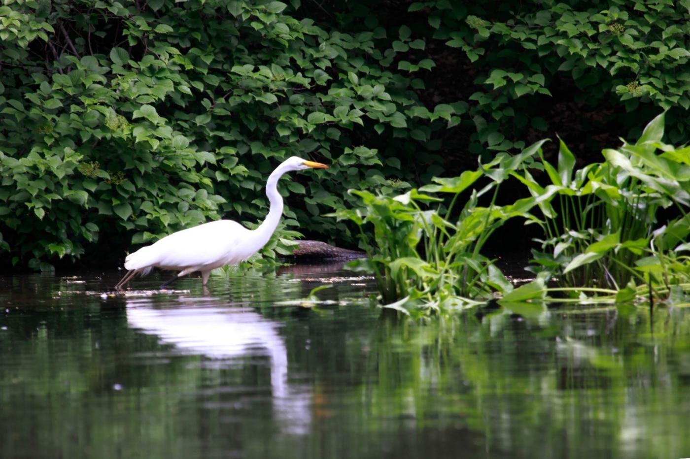 中央公园的白鹭,姿态优美,游客喜爱_图1-14