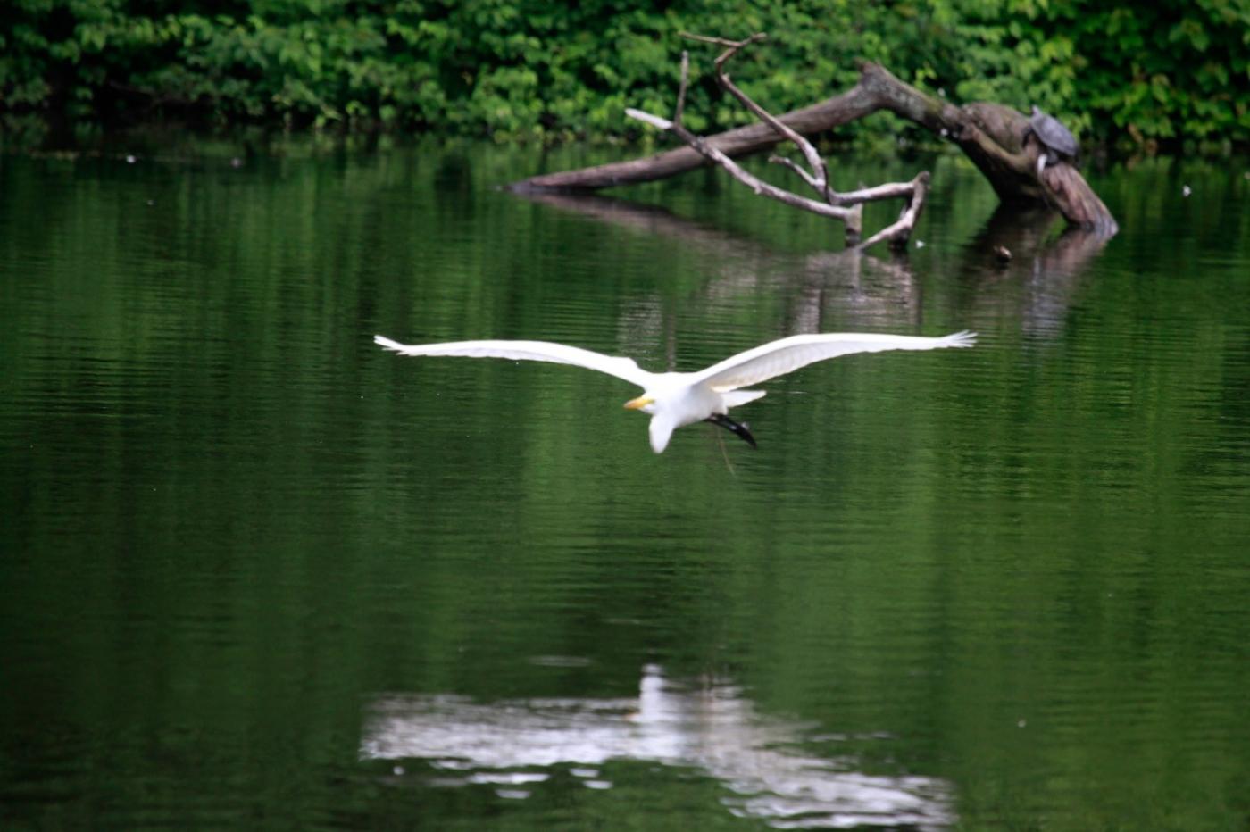 中央公园的白鹭,姿态优美,游客喜爱_图1-15