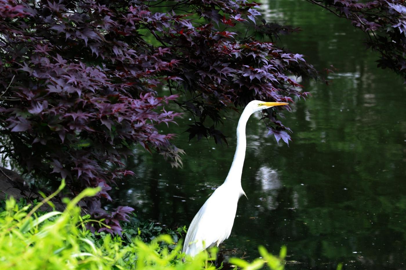 中央公园的白鹭,姿态优美,游客喜爱_图1-16