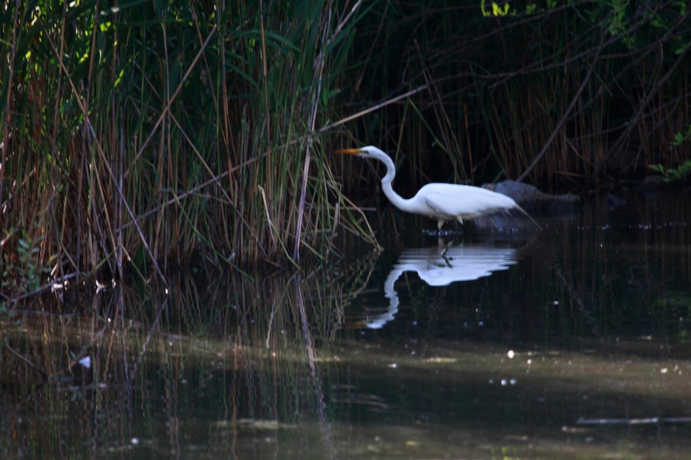 中央公园的白鹭,姿态优美,游客喜爱_图1-17