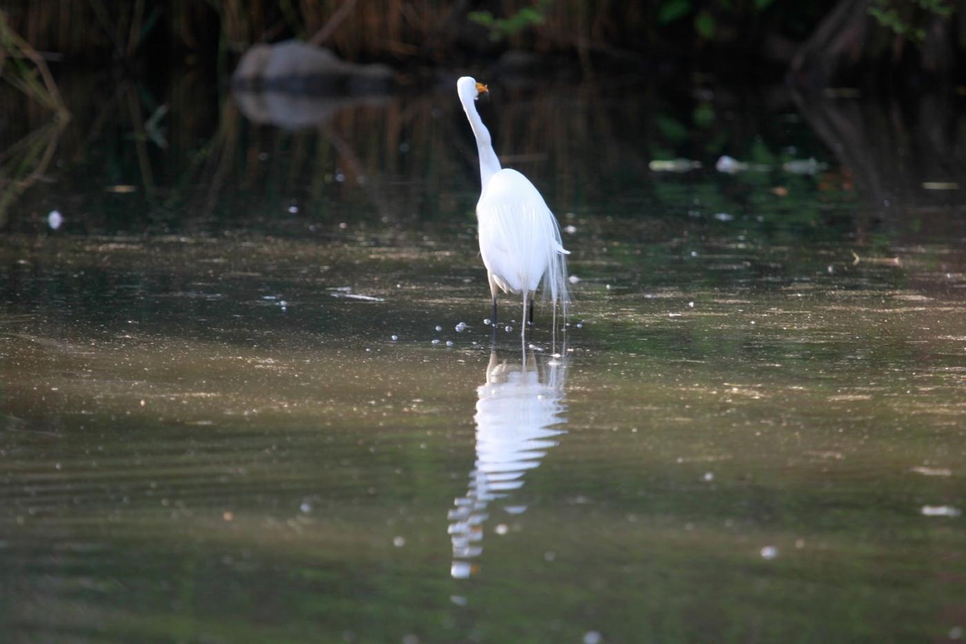中央公园的白鹭,姿态优美,游客喜爱_图1-18