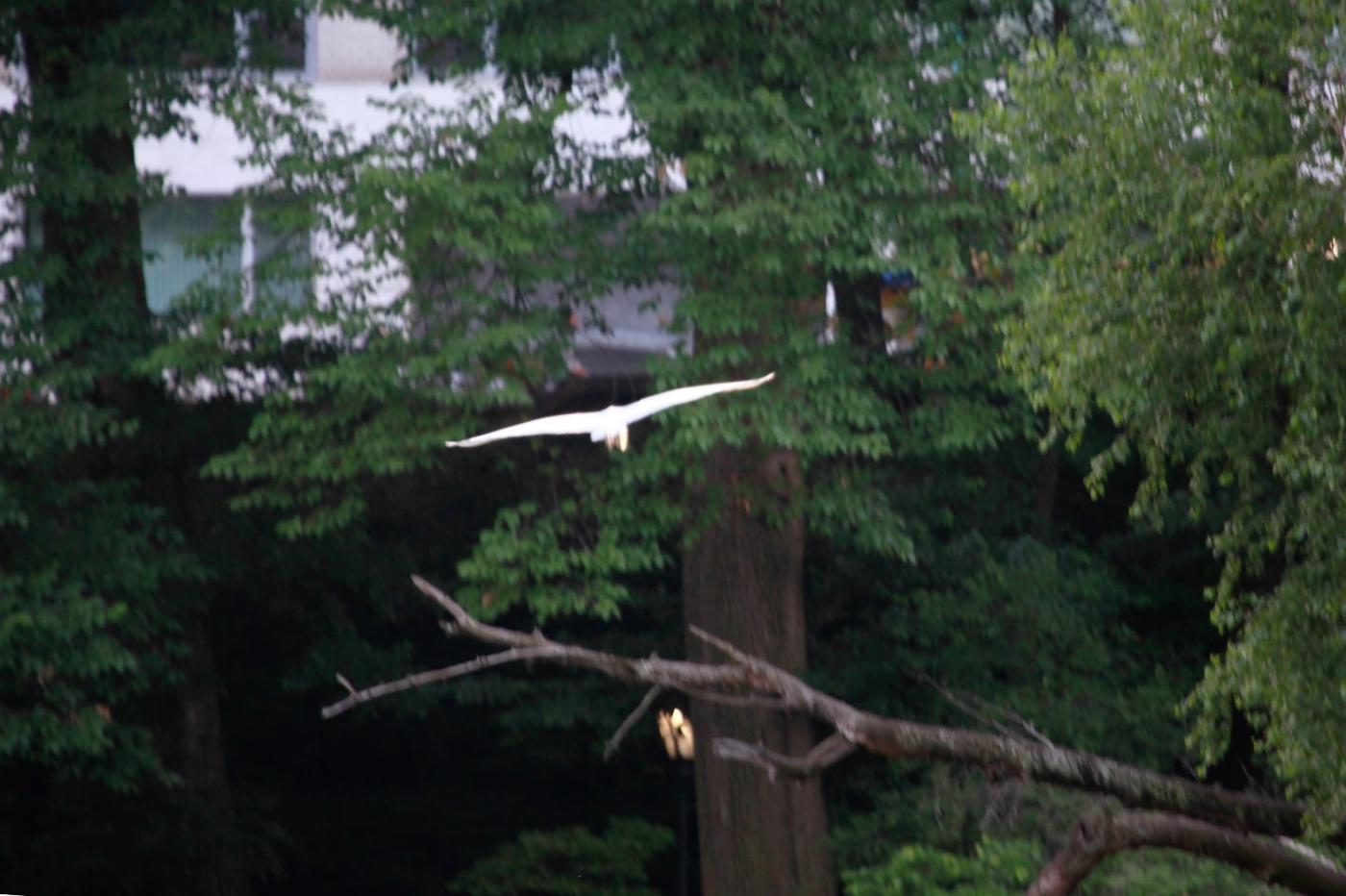 中央公园的白鹭,姿态优美,游客喜爱_图1-21