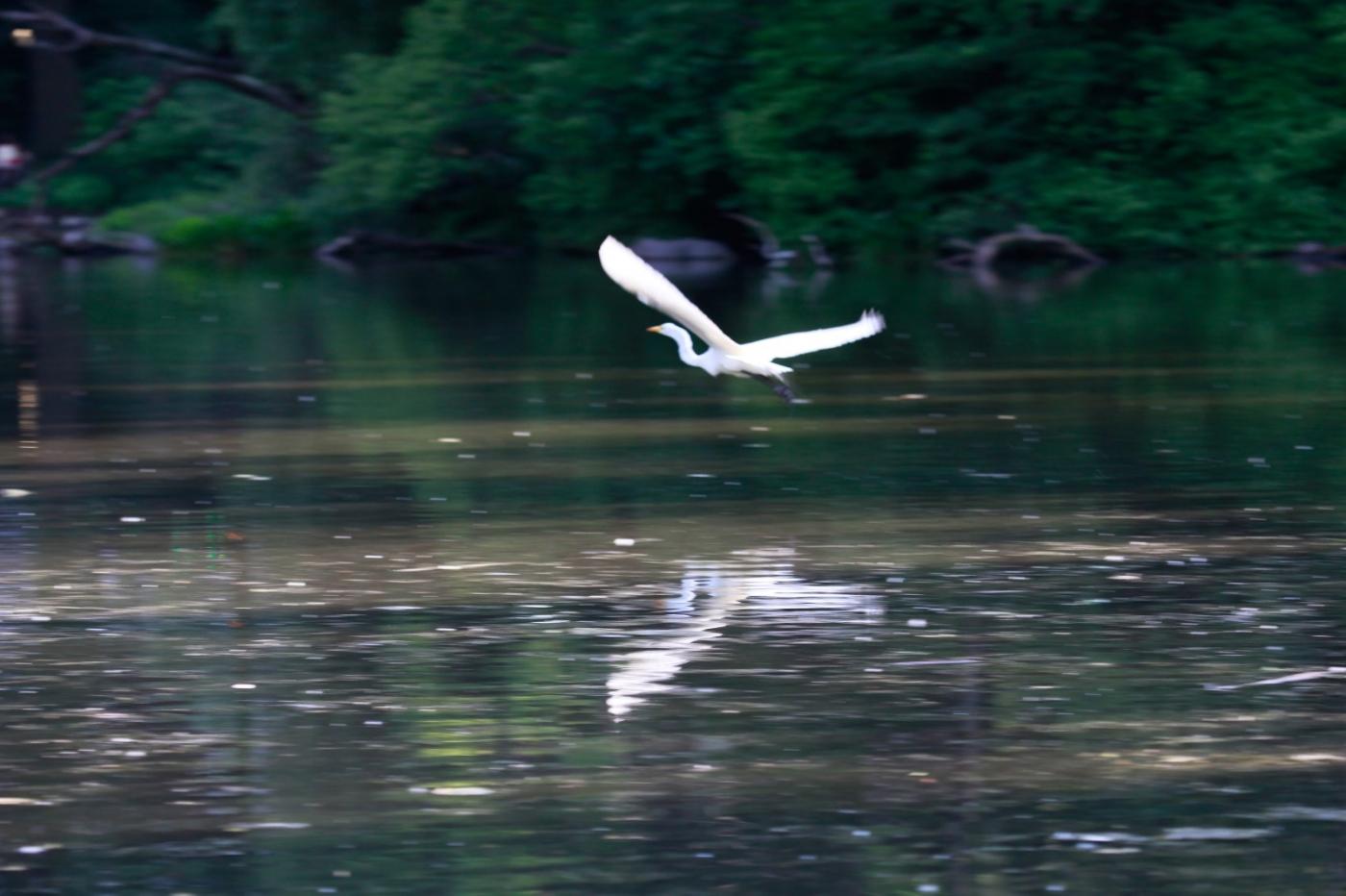 中央公园的白鹭,姿态优美,游客喜爱_图1-20