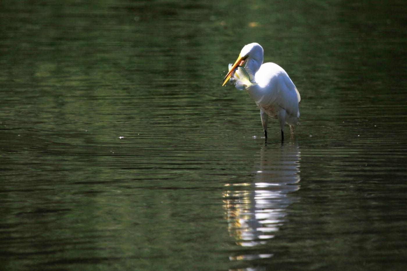 中央公园的白鹭,姿态优美,游客喜爱_图1-22