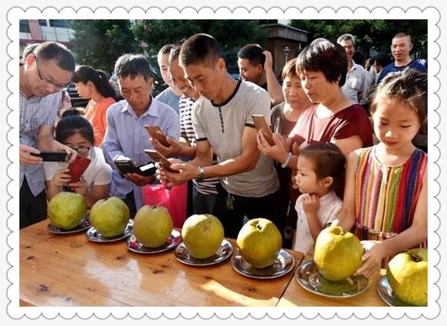 桐琴蜜梨节_图1-12