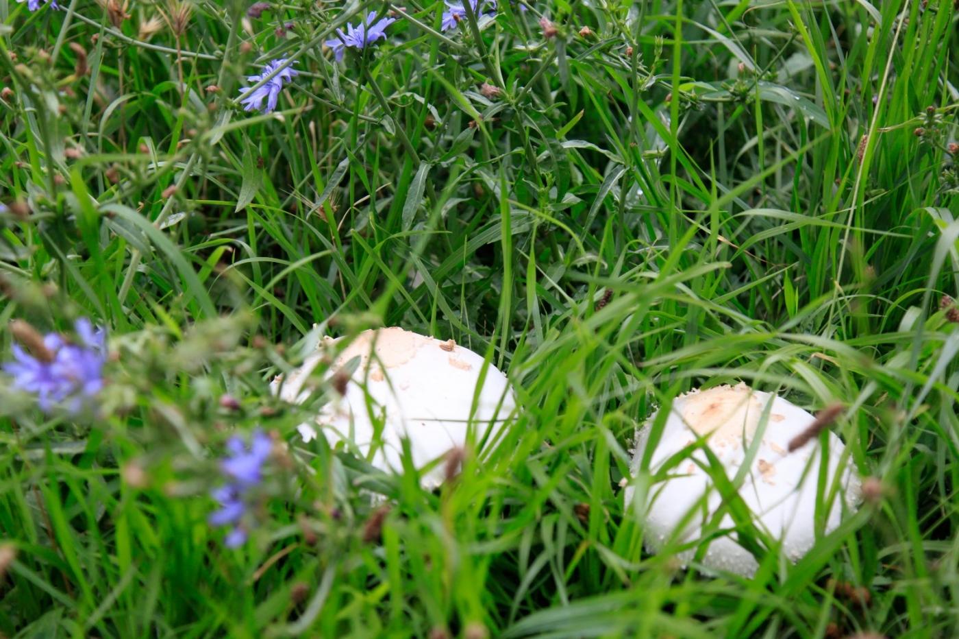 几场大雨后,法拉盛市政厅前的公园内长出了很大的野蘑菇! ..._图1-2