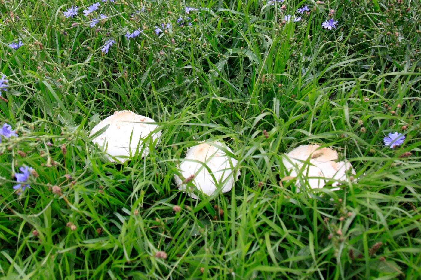几场大雨后,法拉盛市政厅前的公园内长出了很大的野蘑菇! ..._图1-3