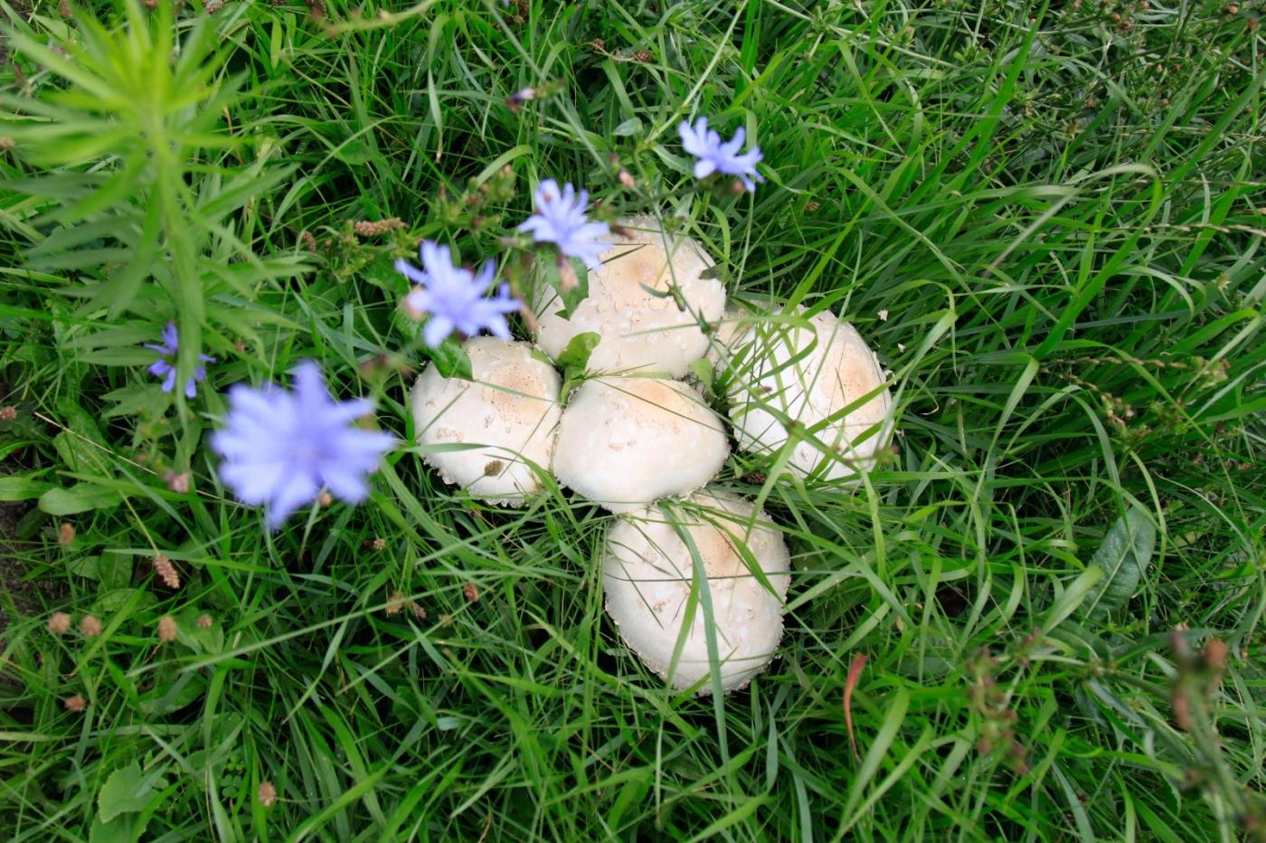几场大雨后,法拉盛市政厅前的公园内长出了很大的野蘑菇! ..._图1-4