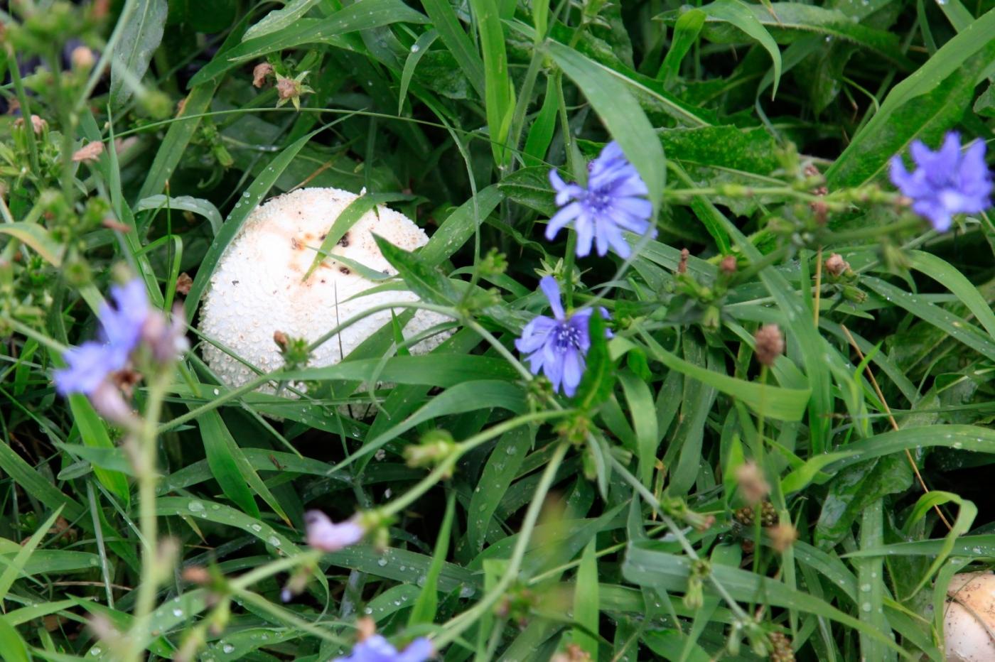 几场大雨后,法拉盛市政厅前的公园内长出了很大的野蘑菇! ..._图1-7
