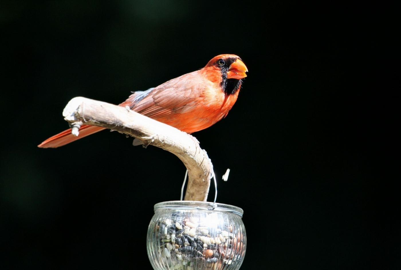 【田螺摄影】做个漂亮的喂鸟器更吸引红衣主教_图1-3