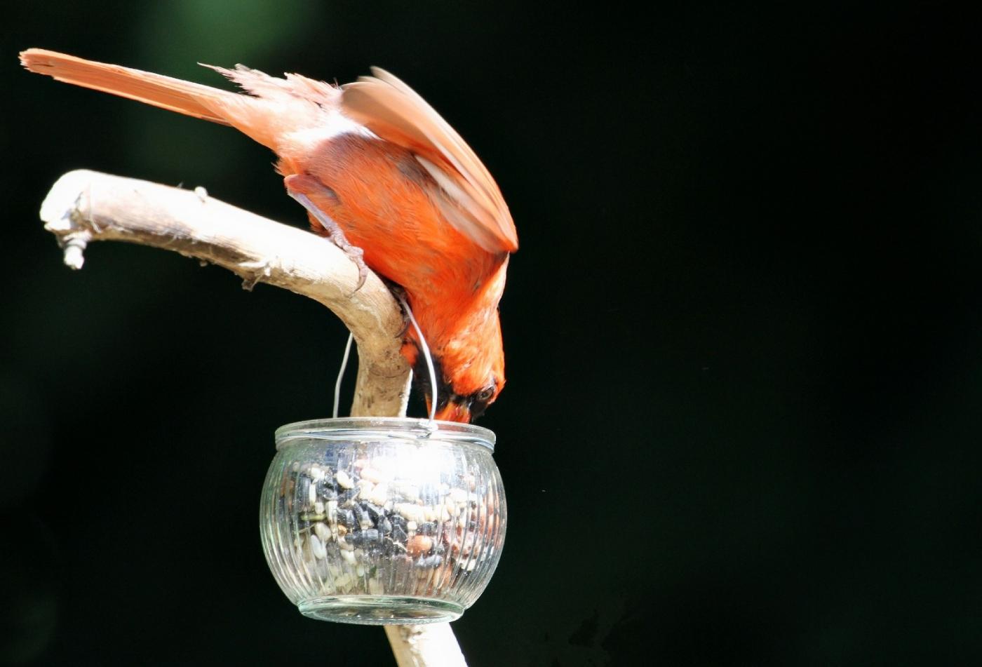 【田螺摄影】做个漂亮的喂鸟器更吸引红衣主教_图1-2