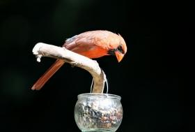 【田螺摄影】做个漂亮的喂鸟器更吸引红衣主