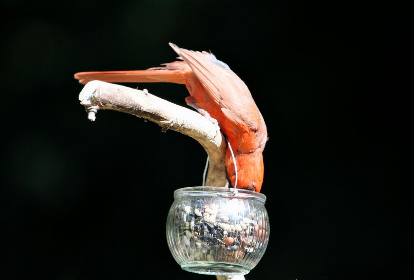 【田螺摄影】做个漂亮的喂鸟器更吸引红衣主教_图1-4