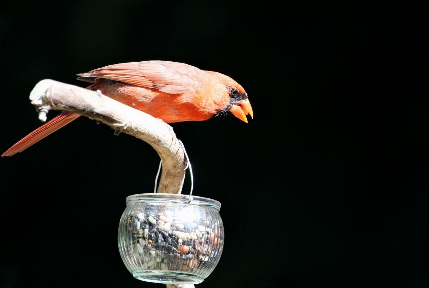【田螺摄影】做个漂亮的喂鸟器更吸引红衣主教_图1-5
