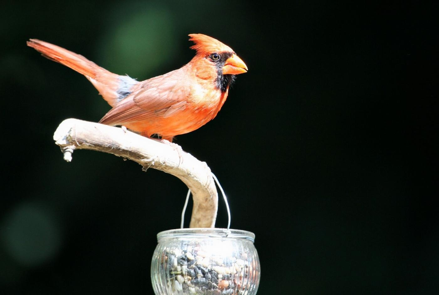 【田螺摄影】做个漂亮的喂鸟器更吸引红衣主教_图1-6