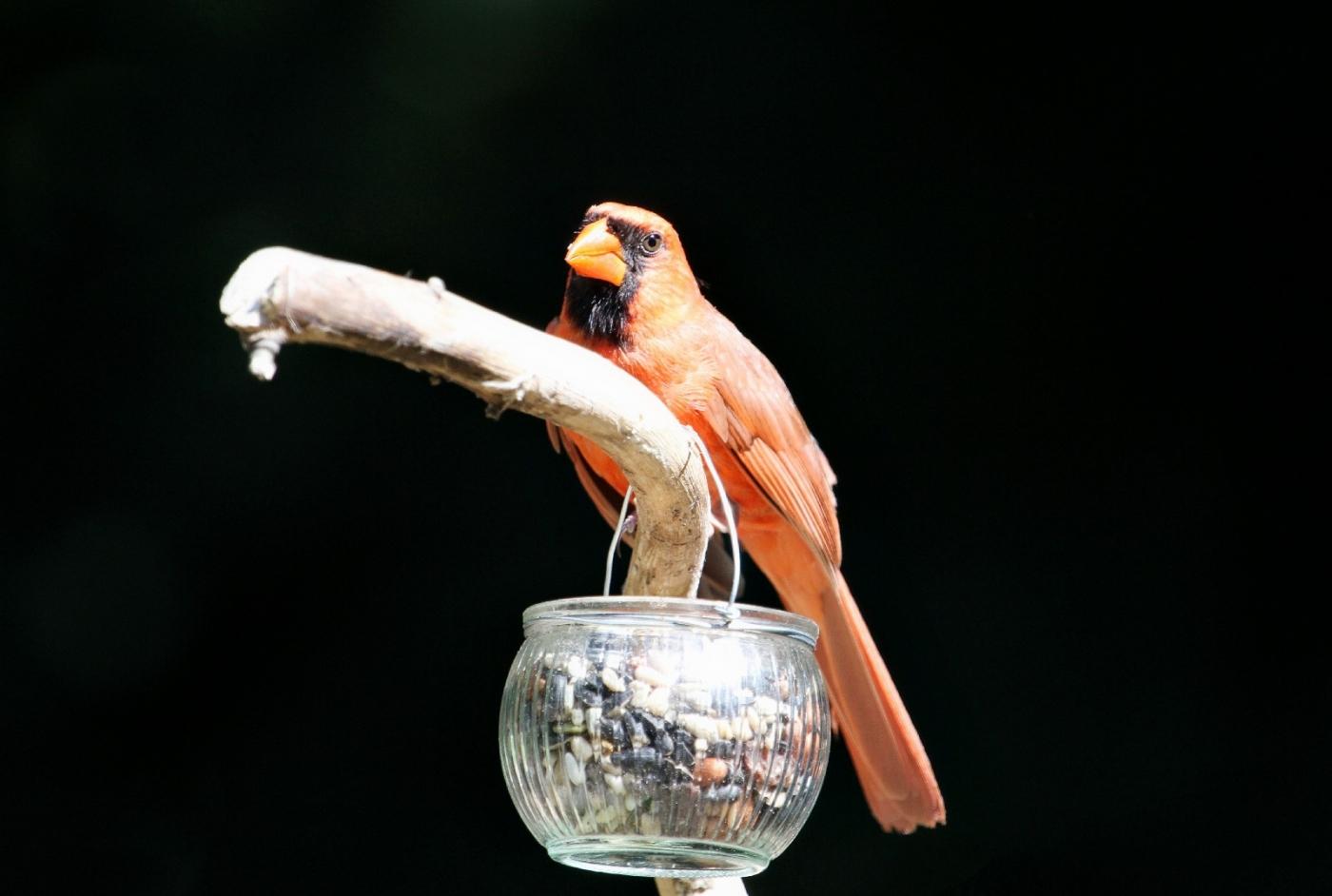 【田螺摄影】做个漂亮的喂鸟器更吸引红衣主教_图1-7