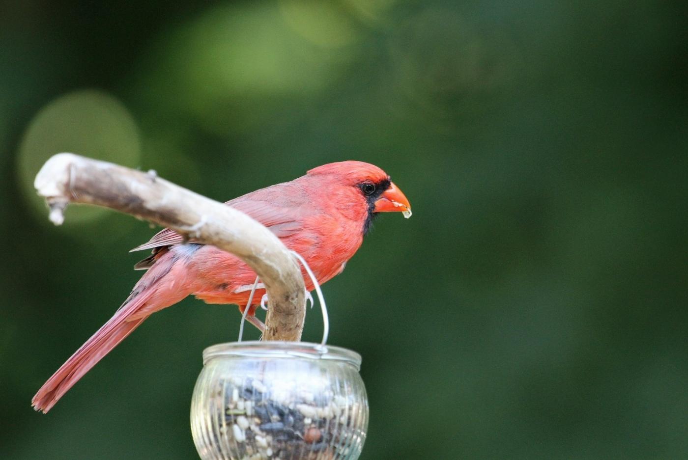 【田螺摄影】做个漂亮的喂鸟器更吸引红衣主教_图1-10
