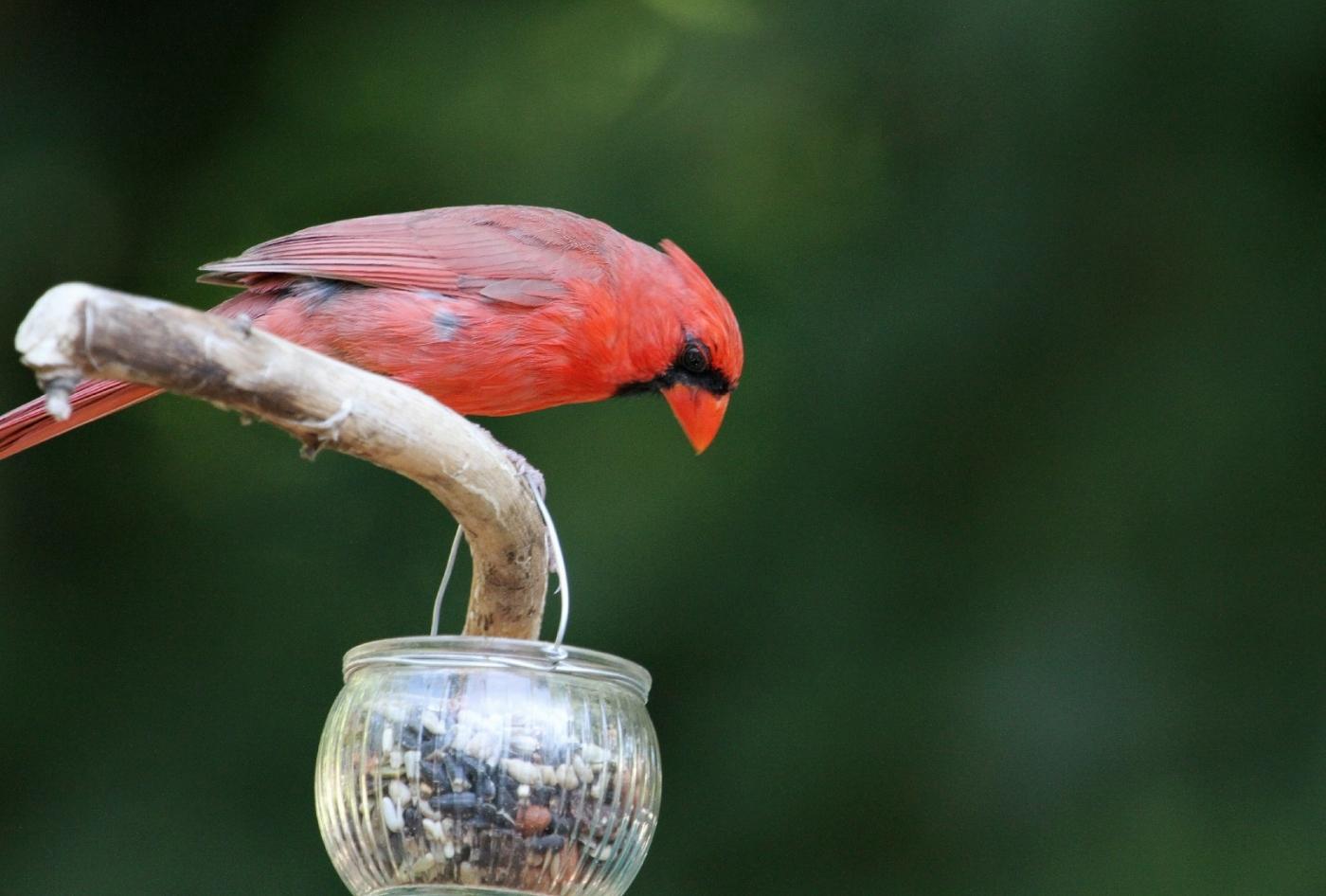 【田螺摄影】做个漂亮的喂鸟器更吸引红衣主教_图1-9