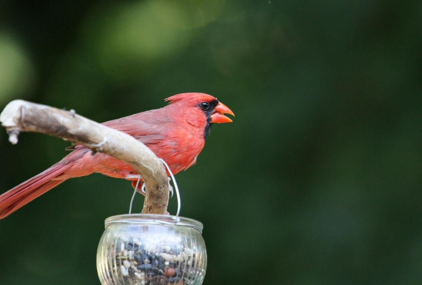 【田螺摄影】做个漂亮的喂鸟器更吸引红衣主教_图1-11