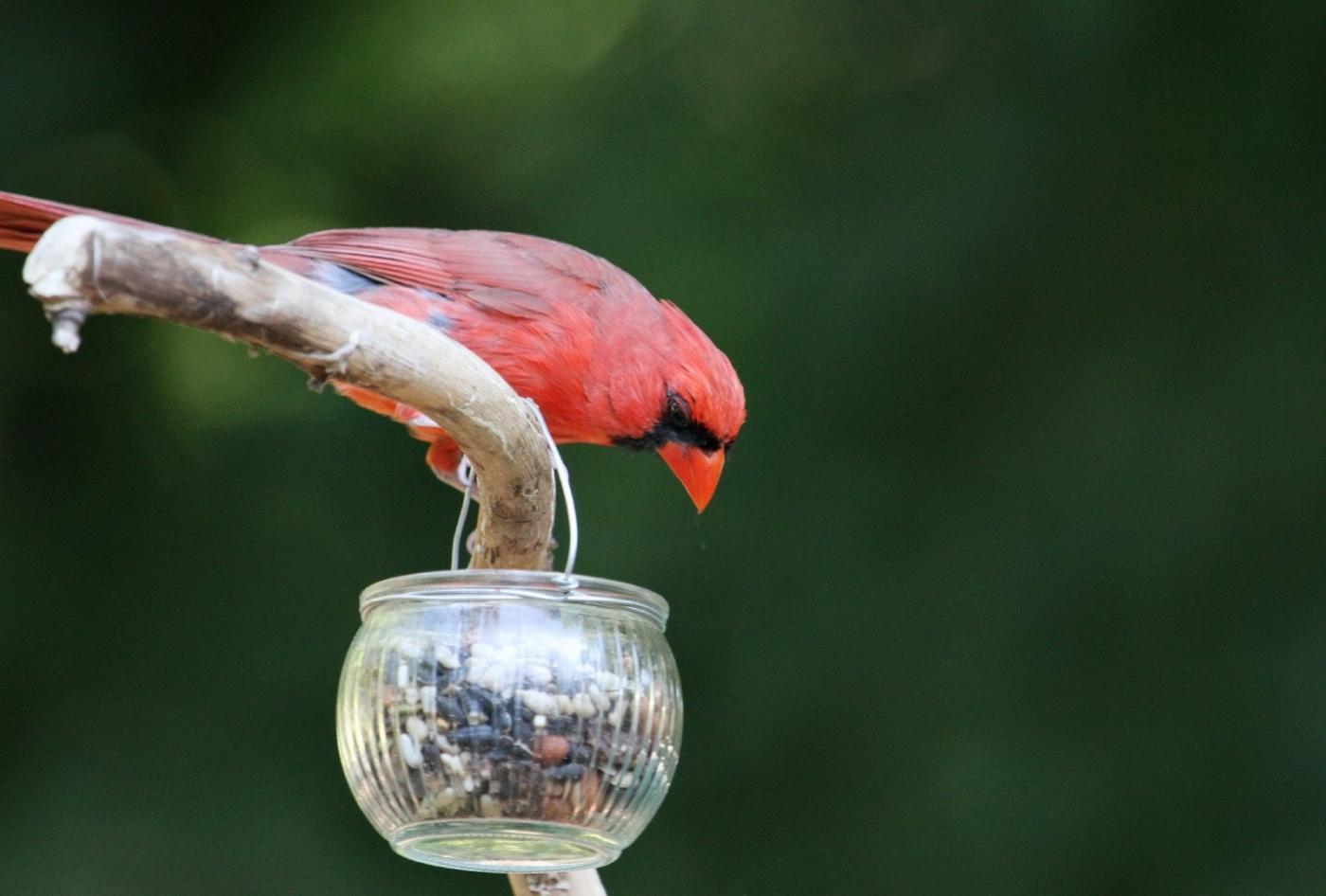【田螺摄影】做个漂亮的喂鸟器更吸引红衣主教_图1-12