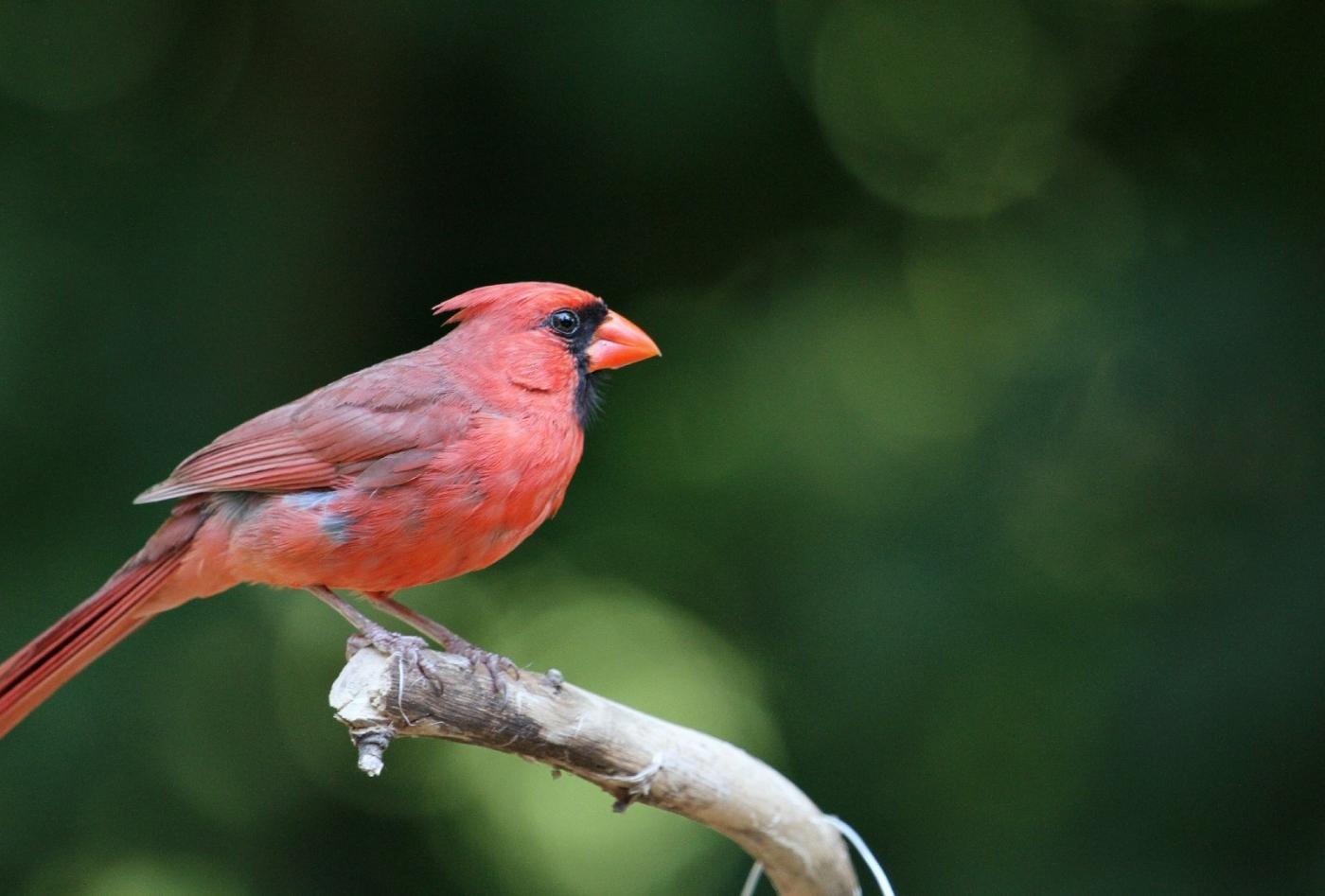 【田螺摄影】做个漂亮的喂鸟器更吸引红衣主教_图1-13