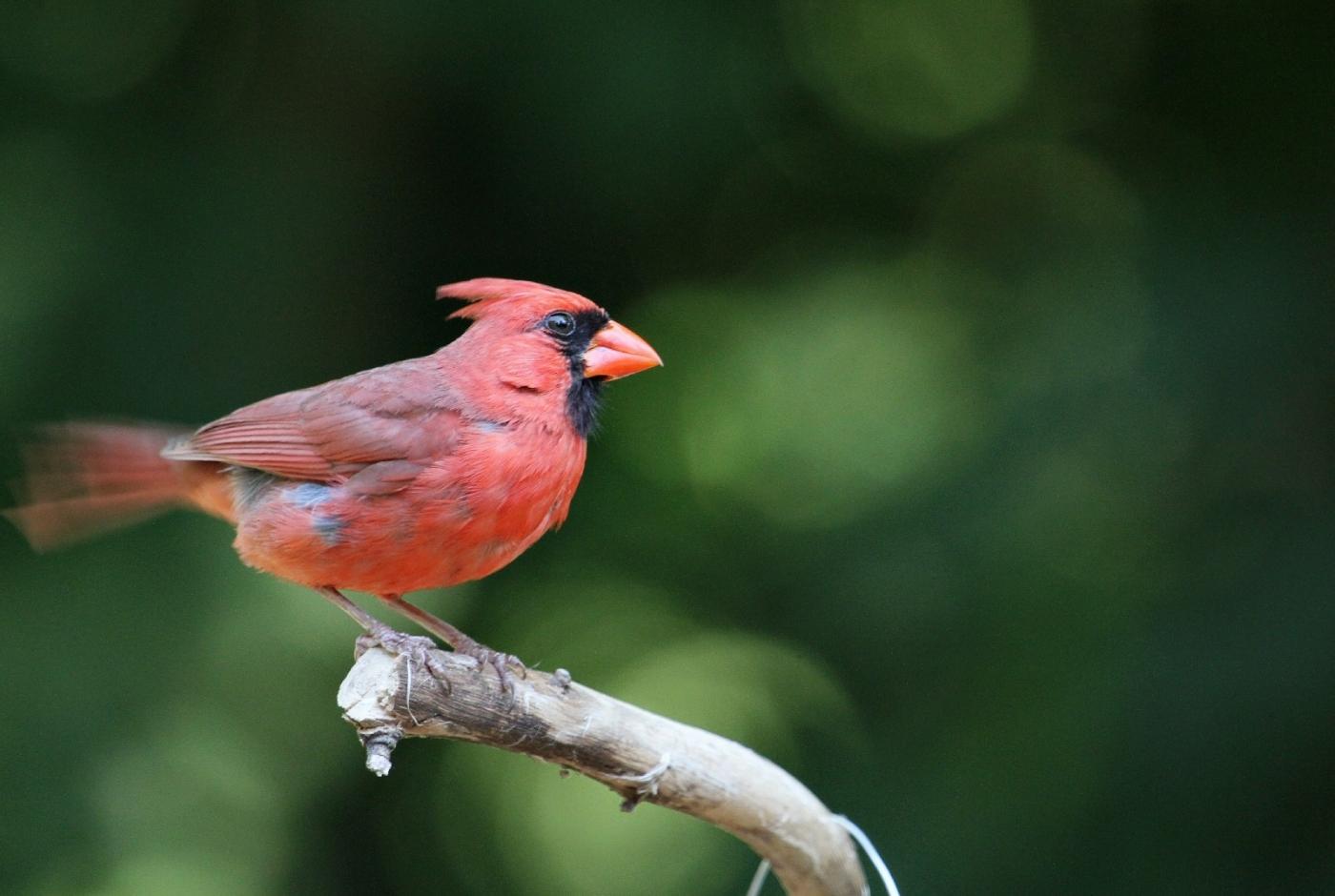 【田螺摄影】做个漂亮的喂鸟器更吸引红衣主教_图1-14