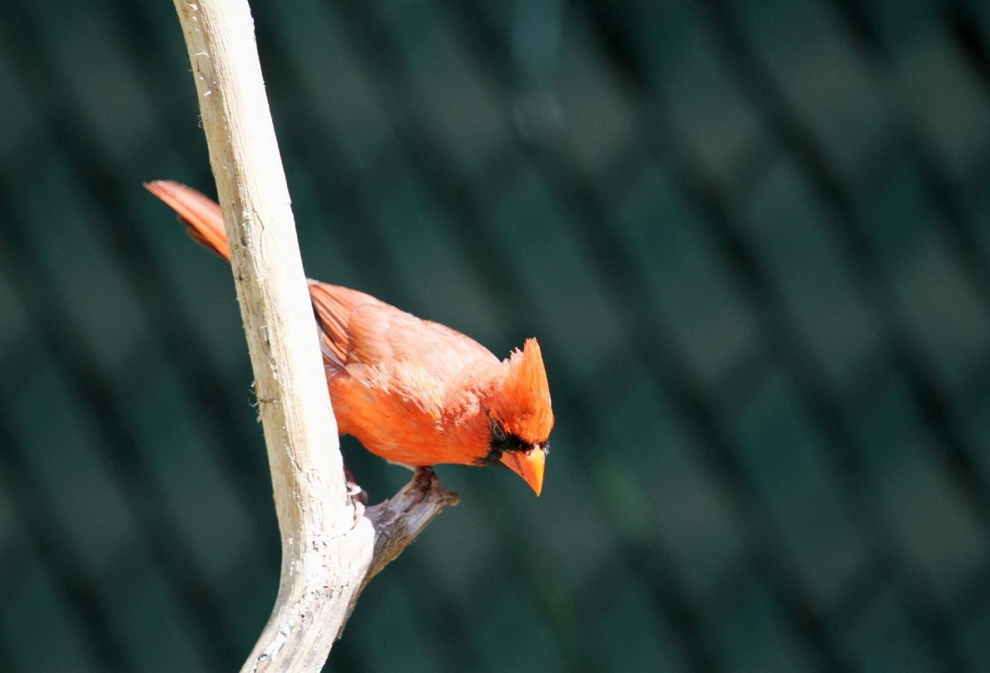 【田螺摄影】做个漂亮的喂鸟器更吸引红衣主教_图1-15