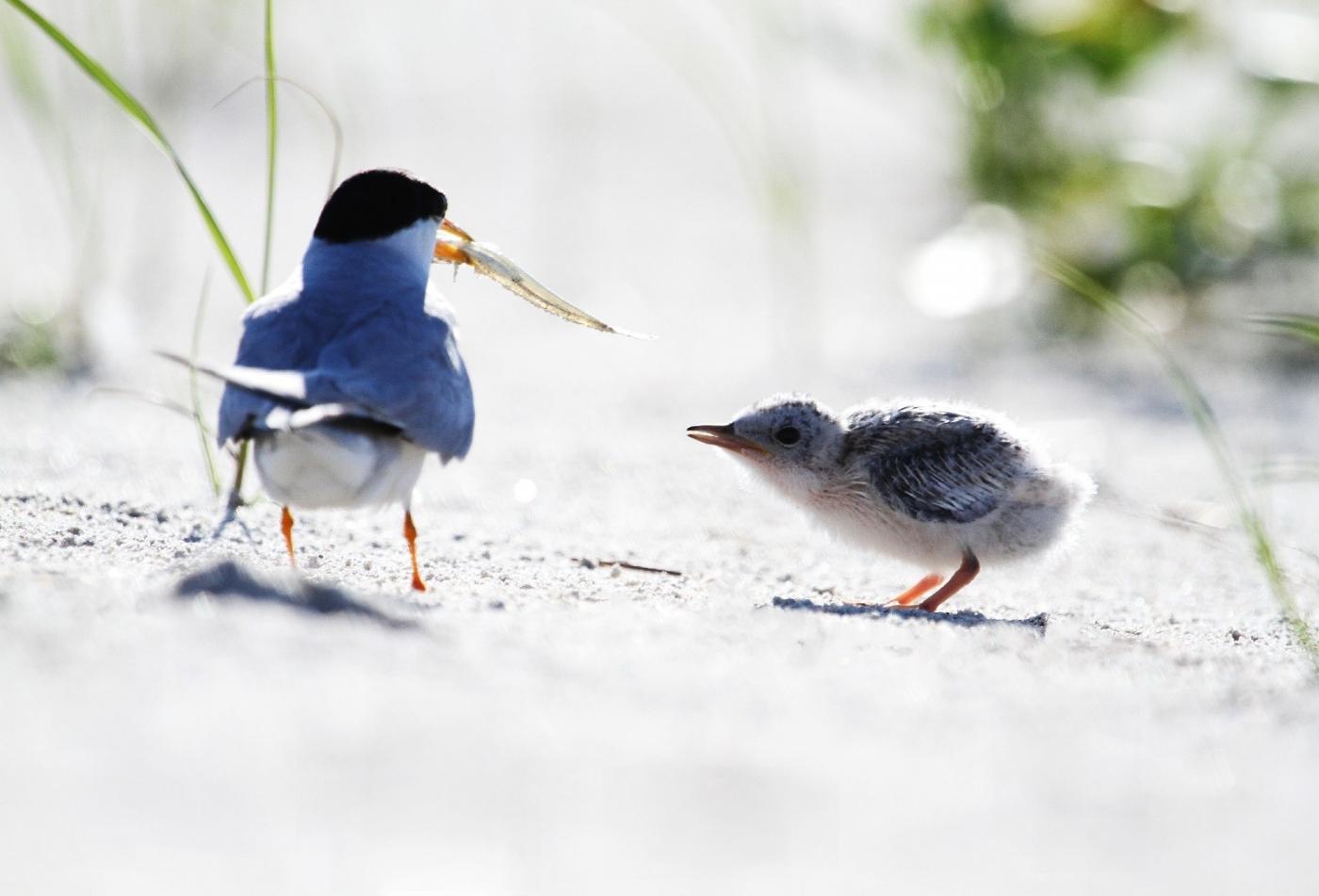 【田螺摄影】黄嘴燕鸥整个出生成长的过程_图1-3