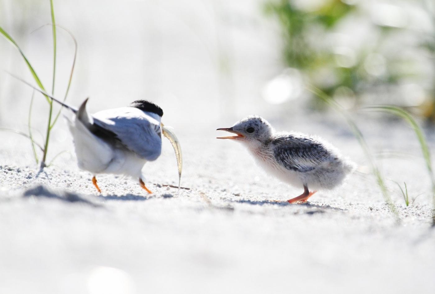 【田螺摄影】黄嘴燕鸥整个出生成长的过程_图1-2