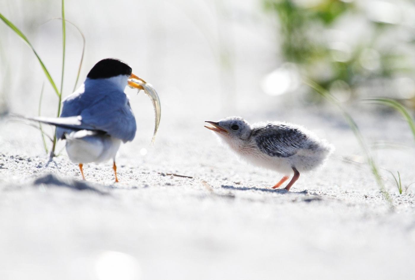【田螺摄影】黄嘴燕鸥整个出生成长的过程_图1-1