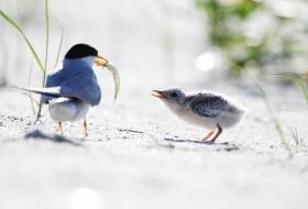 【田螺摄影】黄嘴燕鸥整个出生