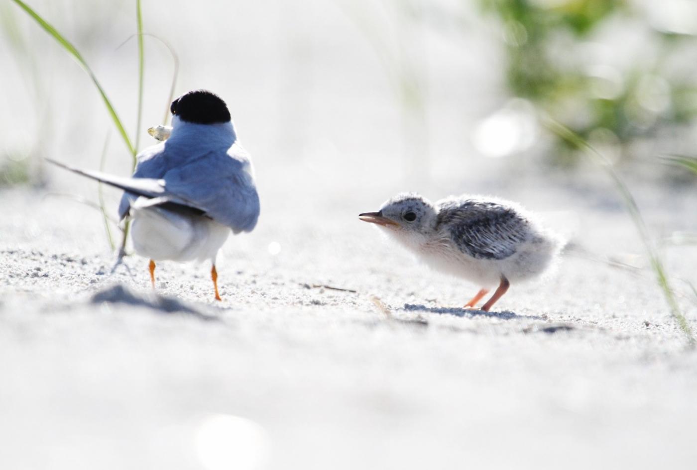 【田螺摄影】黄嘴燕鸥整个出生成长的过程_图1-4