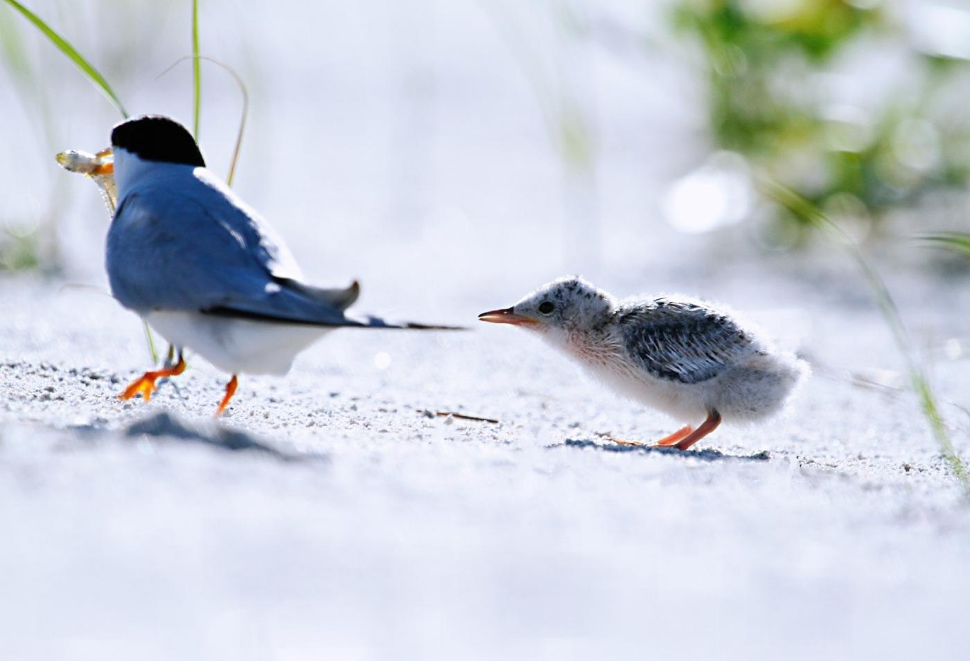 【田螺摄影】黄嘴燕鸥整个出生成长的过程_图1-5
