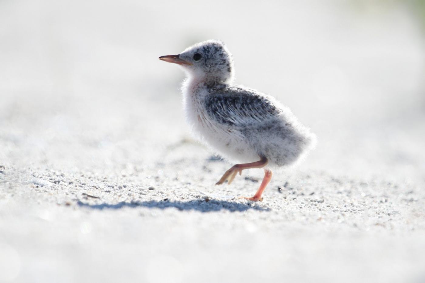 【田螺摄影】黄嘴燕鸥整个出生成长的过程_图1-6